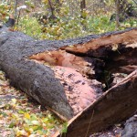 A fallen treet in Inwood Hill Park. Photo: James Kushner