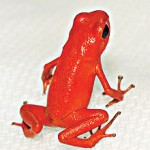 A strawberry poison-dart frog.