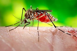The Zika virus is transmitted by mosquitoes.