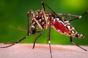 The virus is primarily transmitted through an infected mosquito.