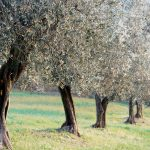 Olive trees in Tuscany.