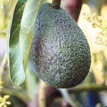 Avocados are naturally sugar-free.