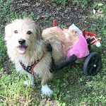 """""""She's happy as a clam,"""" says Beckles of Miracle, who now uses a wheelchair."""