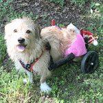 """""""Ella es feliz como una almeja"""", dice Beckles de Milagro, quien ahora usa una silla de ruedas."""