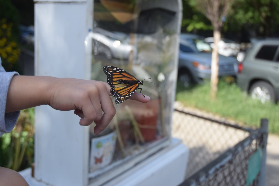The butterflies instinctually fly about 3,000 miles back to Mexico.